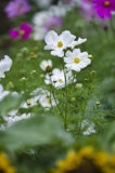 White cosmos flowers Stock Photography