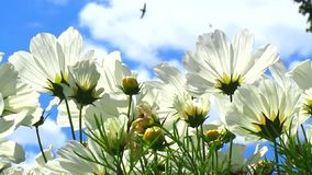 White cosmos flowers. Adorable flowers and sky background with flying by birds and insects