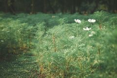 White Cosmos flowers are blooming in public park. Stock Images