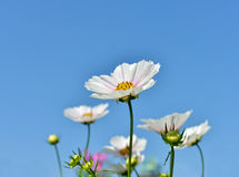 White cosmos flowers on blue sky Stock Photos