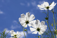 White Cosmos Flowers Blue Sky. White cosmos flowers viewed from the ground towards blue sky with scattered white clouds