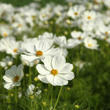 White cosmos flowers Stock Images