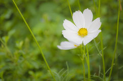 White Cosmos Royalty Free Stock Photography