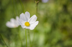 White Cosmos Royalty Free Stock Photos