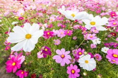White cosmos flowers on field Stock Images