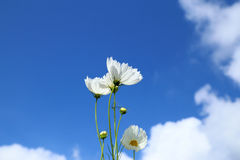 White cosmos in flowers fields. Royalty Free Stock Photos