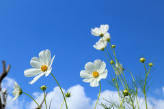White cosmos in flowers fields. Royalty Free Stock Photography
