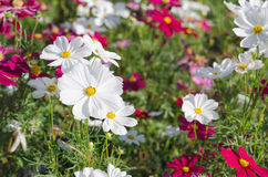 White cosmos flowers in the garden Stock Image