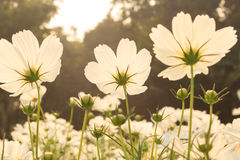 White cosmos flowers Stock Photo