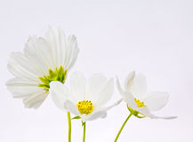 White cosmos flowers Royalty Free Stock Images