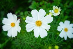White cosmos genus plant flowers with green backrounds. Of leaves and grass Stock Images