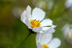 White Cosmos with Golden Stamen. A white cosmos focused on golden stamen with natural green background stock images