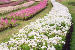 Flowers with beautiful colors. White cosmos and other flowers with beautiful colors Stock Photography