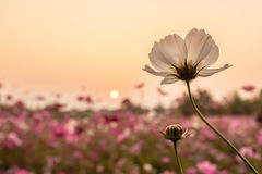 white cosmos with sunset Royalty Free Stock Photography