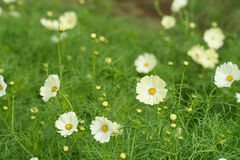 White Cosmos Royalty Free Stock Images