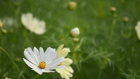 White Cosmos stock footage
