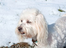 White Coton de Tulear Dog Outside in Snow Stock Photography