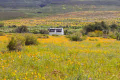 White cottage in field of orange daisies royalty free stock photo
