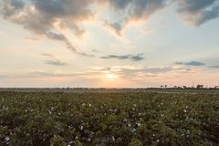 Sunset at Green Cotton Fields. White cotton bolls and pink closed blooms are visible among the green leaves of the cotton field as the sun begins to set stock photography