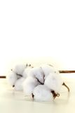 White Cotton with a bough Stock Photography