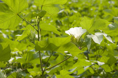 White cotton flower detail. Closeup of a white cotton flower  in   cotton field in summer Royalty Free Stock Photo