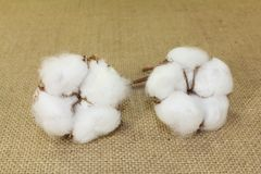 White cotton on a jute. Background Royalty Free Stock Photography