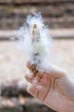White cotton silk seed. Stock Photos