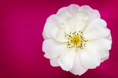 White Country Rose Top View over Vibrant Pink Background. White country rose, top view, over vibrant pink background Stock Images