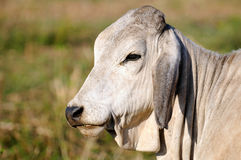 A white cow. A face only shot of a cow Stock Photo