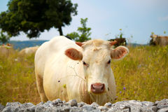 White cow Stock Photo