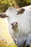White cow Stock Photos