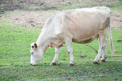 White cow Royalty Free Stock Photography