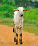 White cow. On fieldrn Stock Photography