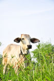 White cow Royalty Free Stock Images