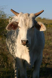 White Cow. Brahma cross, with tips cut off horns, standing beside mesquite tree, late afternoon sunshine, partial shade, against blue sky Royalty Free Stock Image