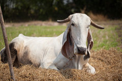 White cow. Grazing in the ground Stock Photography