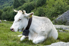 White cow Stock Images