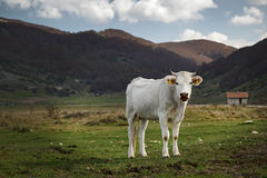 A white cow of adult cattle, breed Italian Stock Image