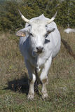 White cow in Apennines Royalty Free Stock Photo