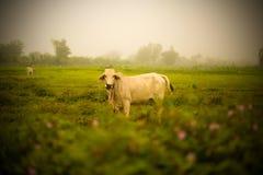 White Cow Asia Royalty Free Stock Image