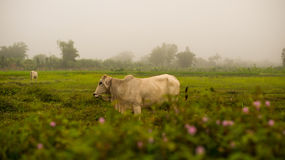 White Cow Asia on Meadow field Royalty Free Stock Photography