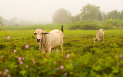 White Cow Asia on Meadow field Stock Image