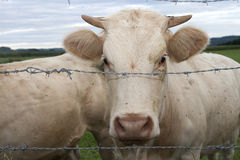 White cow behind barbed wire Royalty Free Stock Photos