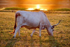 White cow with big horns Stock Image