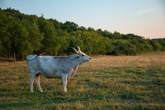 White cow with big horns Stock Photo