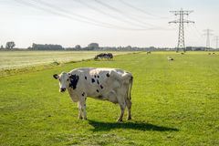 White cow with black spots under high-voltage lines. Is curiously looking at the photographer. In the background are power pylons and grazing cows stock photos