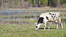 White cow with black spots is the young grass on b