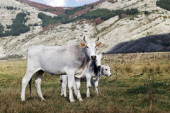White cow bred Italian and two small calves grazing Royalty Free Stock Image