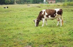 White cow with brown spots Royalty Free Stock Photography