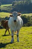 A white cow and a brunette in the meadow royalty free stock photo